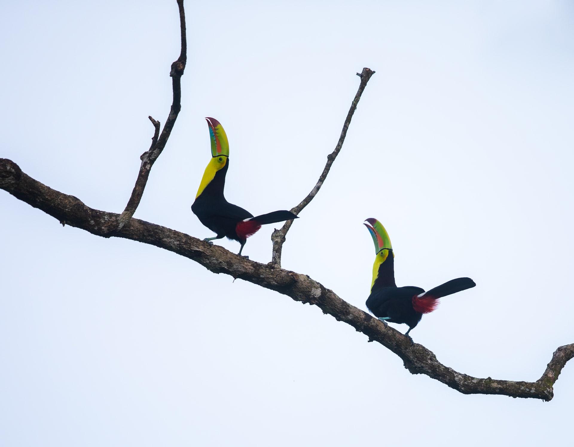 toucans are back in Playa del Carmen